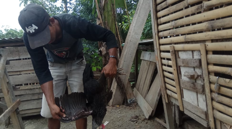 400 Gambar Ayam Yang Terkena Flu Burung  Paling Keren